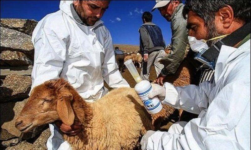 طاعون نشخوار کنندگان در پهنههای زیست محیطی فارس تحت پایش است