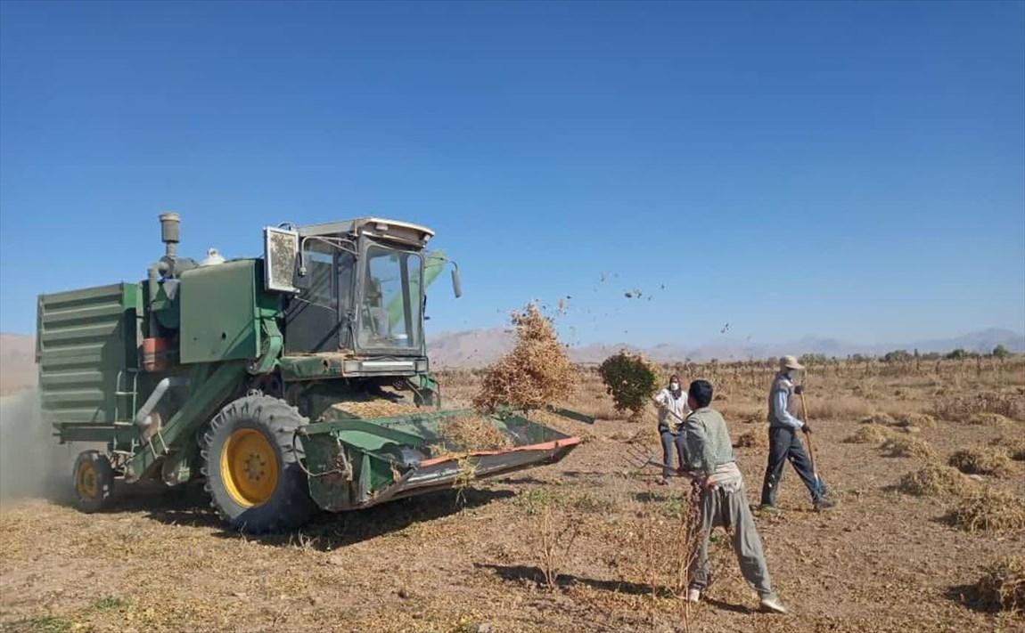 برداشت ۲۵ تن لوبیا از مزارع تحقیقاتی دانشگاه آزاد اسلامی اقلید