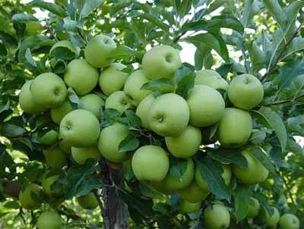 برداشت سیب پاییزه از باغهای فارس