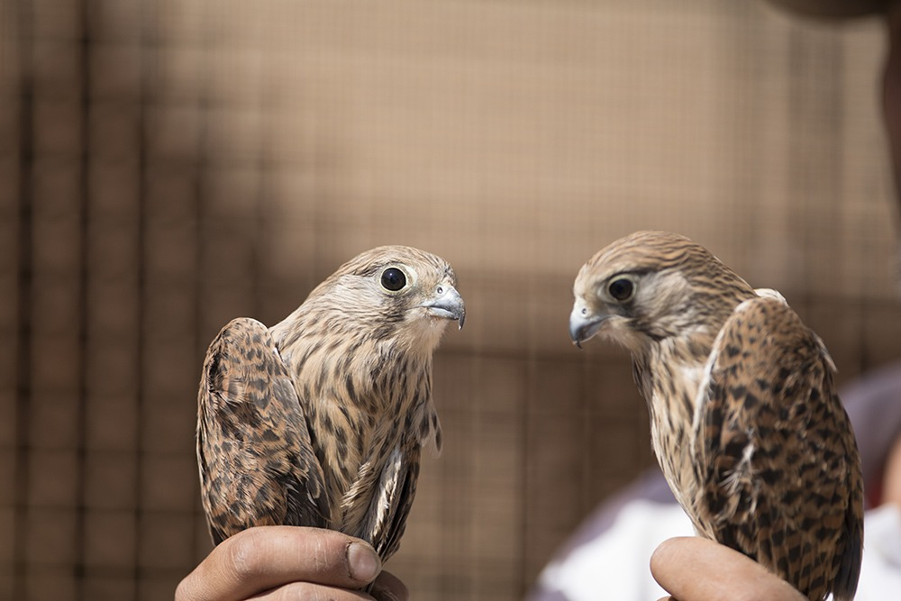 شکارچیان پرندگان در دام