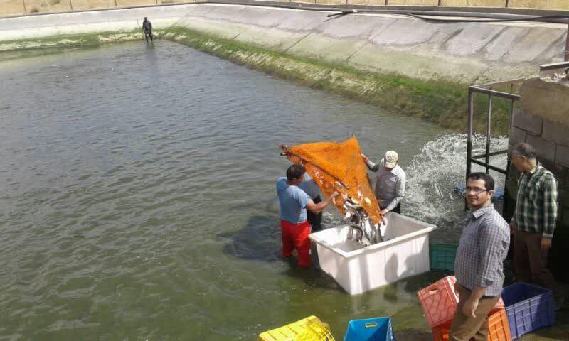 آغاز صید ماهی قزلآلا از مزرعه تحقیقاتی ۱۵۰ هکتاری