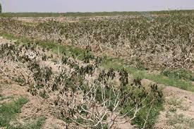 خسارت 120 میلیاردی کشاورزان اقلیدی در پی سرمازدگی/ لزوم کمک به بخش کشاورزی