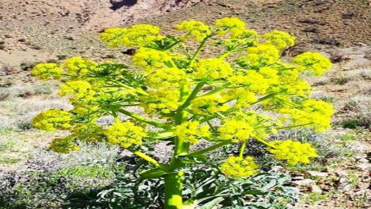 کاشت گیاه دارویی آنغوزه و باریجه در اقلید