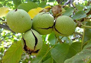 برداشت گردو از قطب تولید محصول در فارس