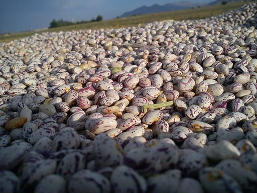 برداشت لوبیا از مزارع فارس قطب لوبیای کشور