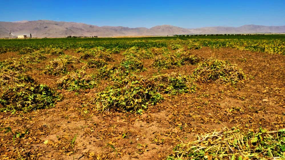 لزوم راهاندازی صنایع تبدیلی مرتبط با لوبیا در اقلید