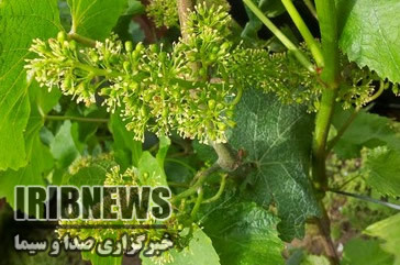 کرم خوشه خوار، محصولات باغی فارس را تهدید میکند