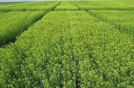 کشت گیاه روغنی کاملینا در اقلید