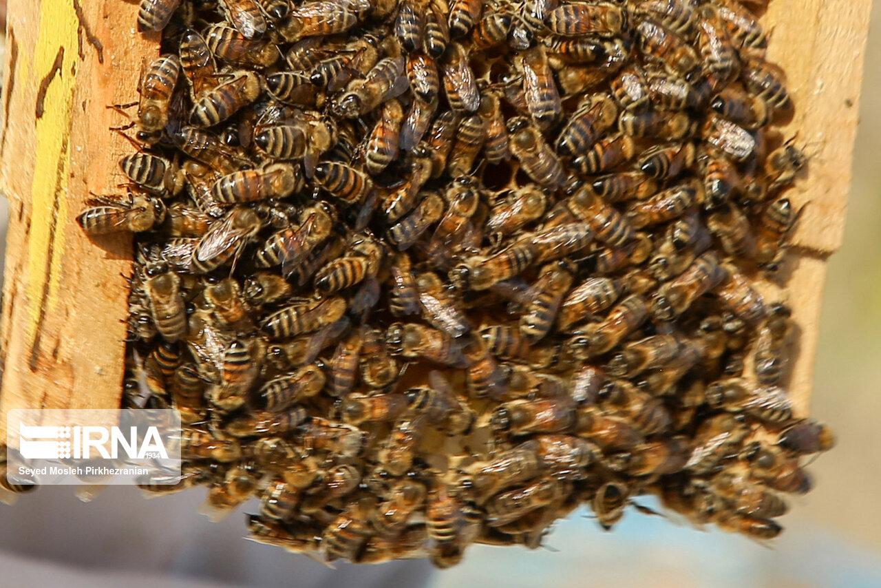 اقلید فارس پذیرای زنبورداران مهاجر از دیگر مناطق است