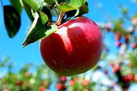 برداشت 30 هزار تن سیب درختی در فارس