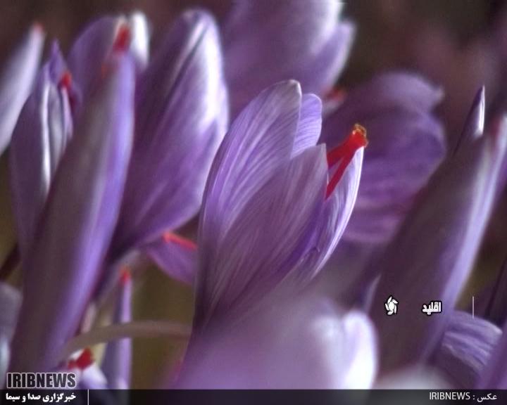 کشت گلخانه ای زعفران در اقلید