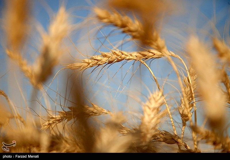 ۵۷ رقم جدید زراعی و باغی در استان فارس معرفی شد/ بومیسازی بستر کاشت گلخانهها در مرکز تحقیقات کشاورزی