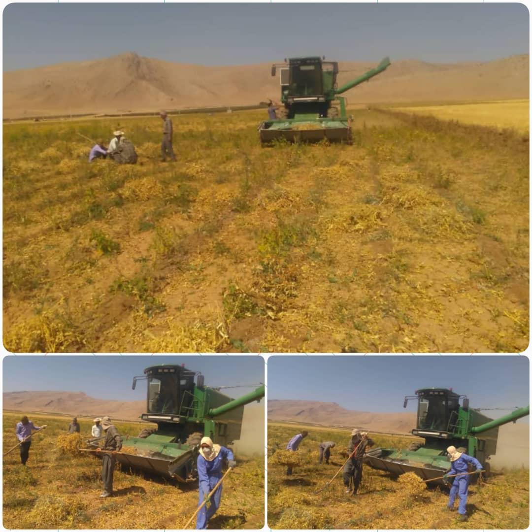 بیش از دو هزار هکتار لوبیا در منطقه آسپاس استان فارس در حال برداشت است