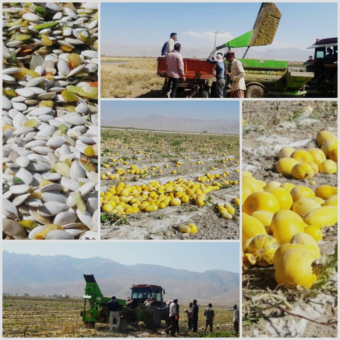 برداشت کدو آجیلی از مزارع منطقه خنجشت استان فارس آغاز شد