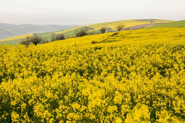 شهرستان اقلید در استان فارس به مدت 15 سال رکورددار تولید کلزا بود