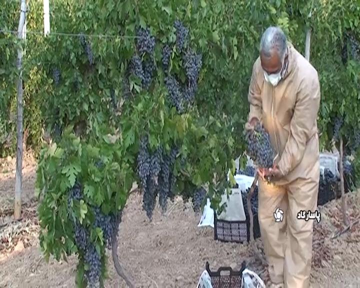 برداشت ۵۵۰ هزار تن انگور از قطب تولید کشور