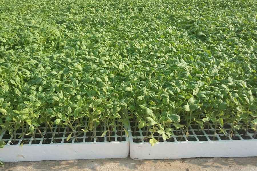 آغاز کشت گوجه فرنگی در مزارع شهرمیان