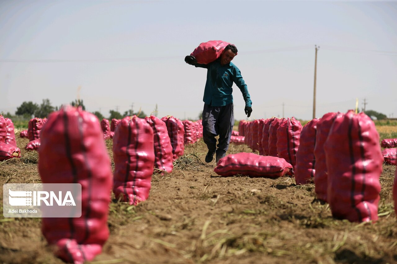 پیش بینی برداشت ۲۴۰ هزار تن سیب زمینی در شهرستان اقلید