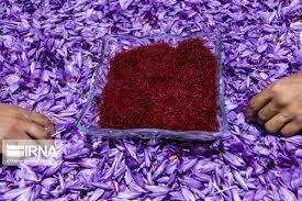 کشت زعفران در فارس و حمایت دولت از خرید این محصول