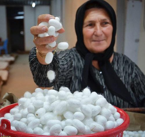آغاز برداشت پیله ابریشم در فارس