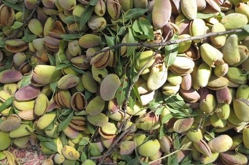 بادام اقلید در راه بازار