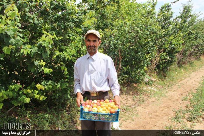 پیوند درختان میوه و کوهی در اقلید