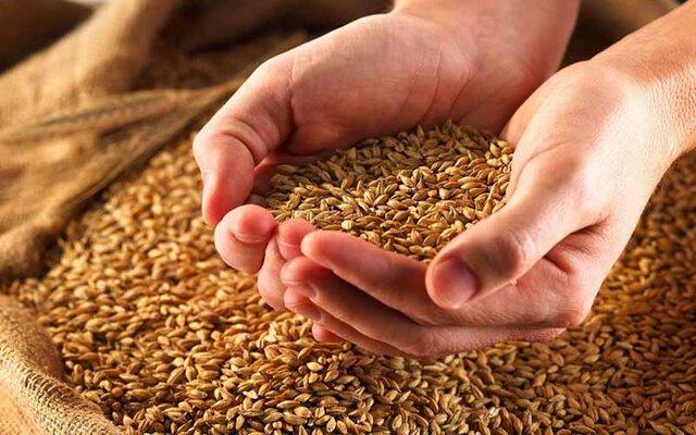 کشت ارقام بذری گندم در اراضی شهرستان اقلید
