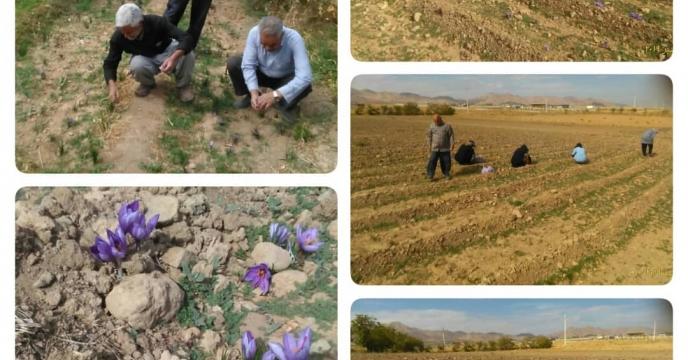 برداشت طلای سرخ از مزارع زعفران حومه اقلید استان فارس